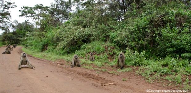 Baboons on road in Nairobi