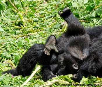 Baby Gorilla tumbling around