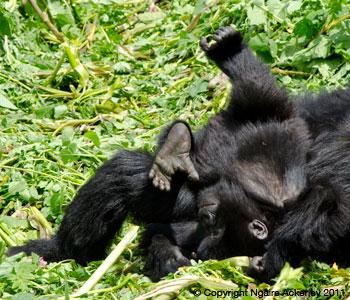 Baby Gorilla tumbling around