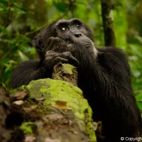 Chimps, National Parks and lush landscapes of Uganda (East Africa: Part 2)