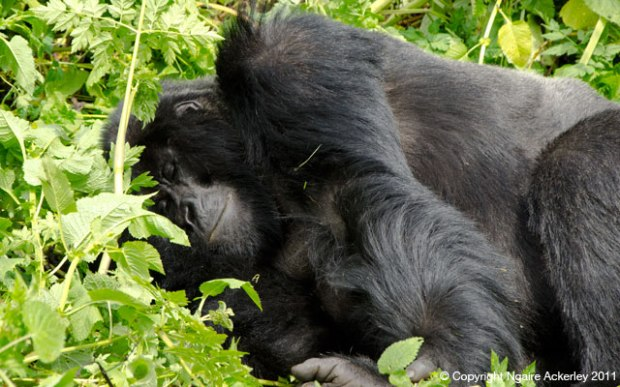 Gorilla sleeping