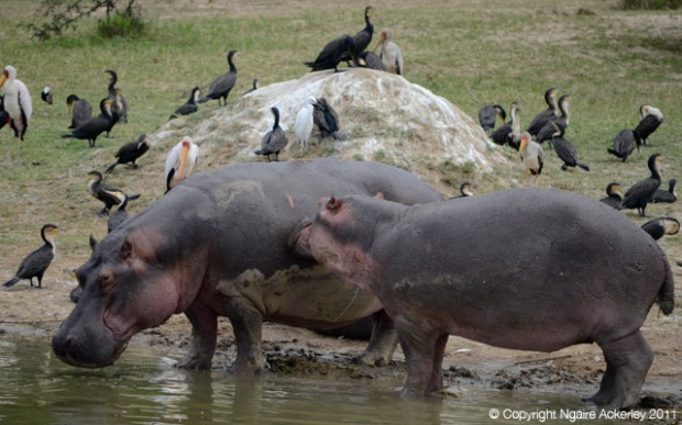 Hippos cleaning