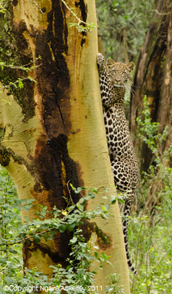 Leopard, Lake Nakuru National Park
