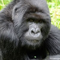 Face to face with a silverback (East Africa: Part 3)