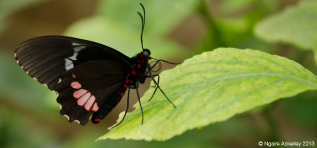 Butterfly, Natural History Museum. Copyright Ngaire Ackerley