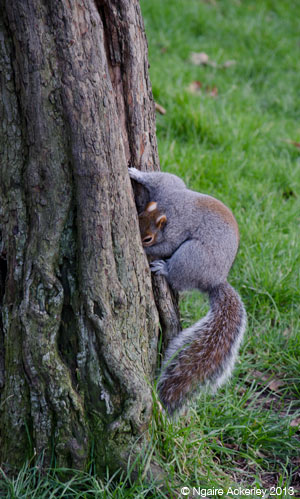 squirrel-tree-london-copyright-ngaire-ackerley-2013
