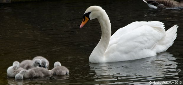 Swans, Hyde Park, London. Copyright Ngaire Ackerley, 2013
