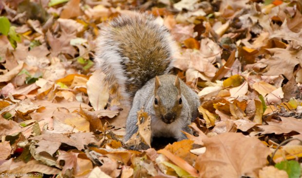 Squirrel in Central Park