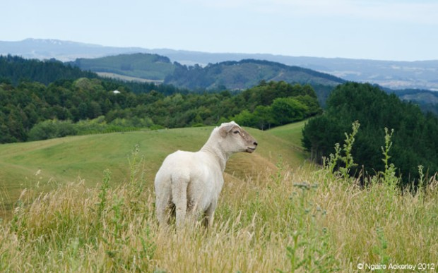 Sheep on Papamoa Hills