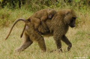 Baby baboon's that are carried by cuddling the back or tummy of a parent, Lake Nakuru National Park, Kenya