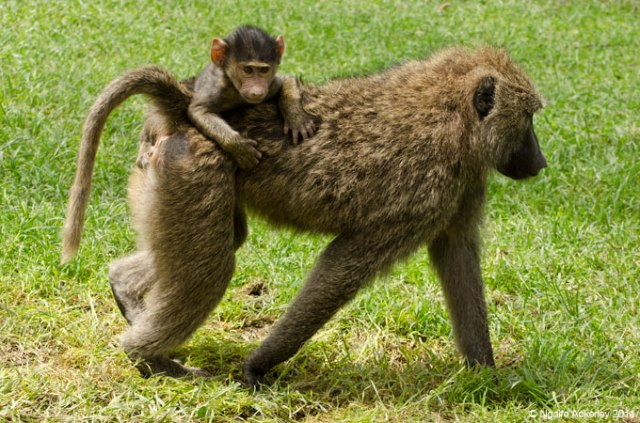 A baby baboon grips on for dear life to its mother wandering around the park