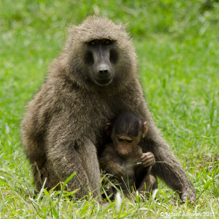 Baboon sitting with its baby, Lake Nakuru National Park, Kenya