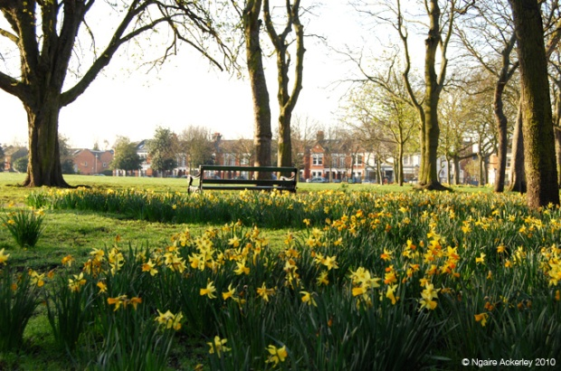 Daffodils in Putney, London, UK
