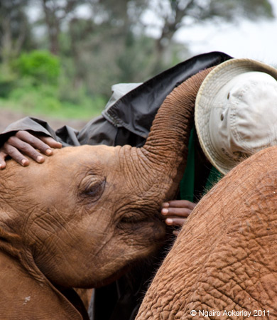 A baby elephant giving a cuddle to the guy that just fed it