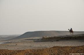 Camel in desert, Cairo