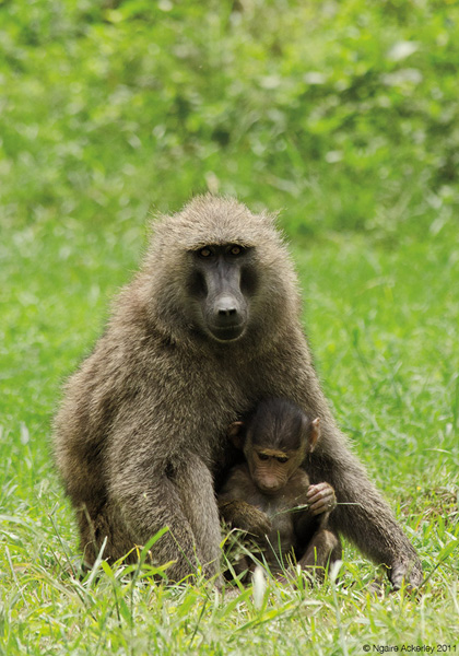 Baboon with child, Lake Nakuru National Park, Kenya
