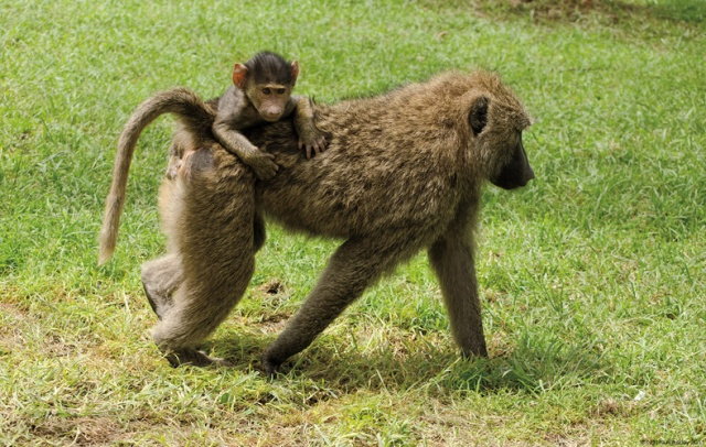 Baboon walking with child, Lake Nakuru National Park, Kenya