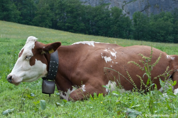 Token cow with a bell, Lauterbrunnen, Switzerland