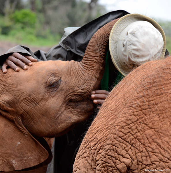 Elephant Cuddle, Nairobi Elephant Orphanage, Kenya