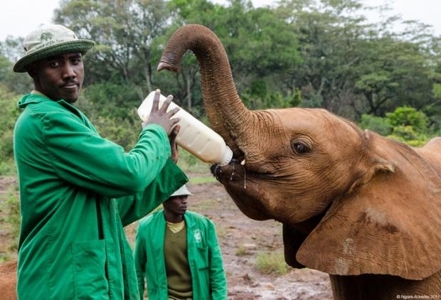 Elephant feeding, Nairobi Elephant Orphanage, Kenya