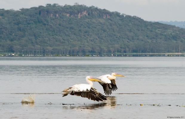 Pelicans flying, Lake Nakuru National Park, Kenya