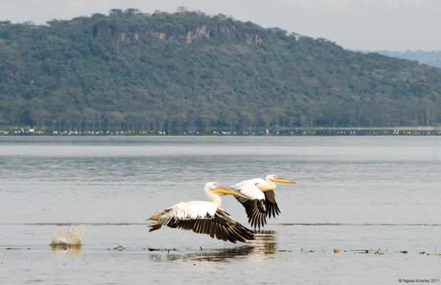 Pelicans flying, Lake Nakuru National Park, Kenya