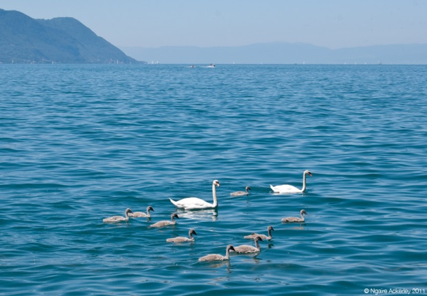Geese, Lake Geneva, Montreux. Switzerland