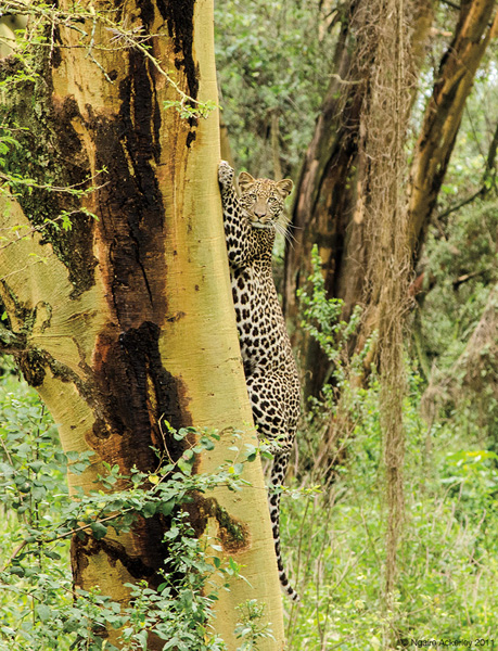 Leopard, Lake Nakuru National Park, Kenya