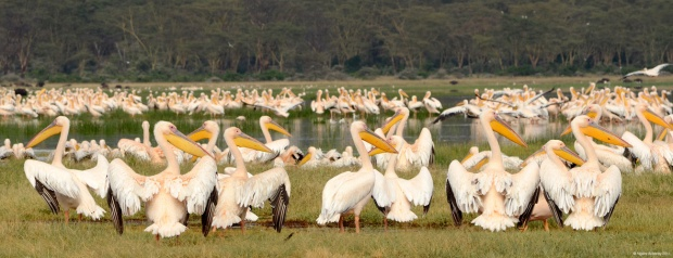 Pelicans, Lake Nakuru National Park, Kenya