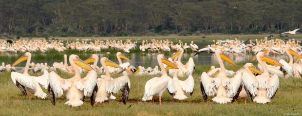 Pelicans, Lake Nakuru National Park, Kenya