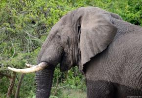 Elephant in Queen Elizabeth National Park, Uganda