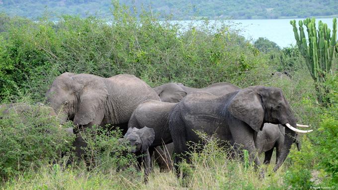 Elephants in Queen Eli...