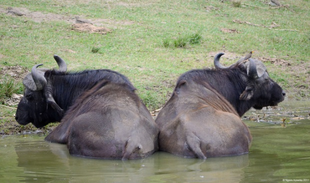 Water Buffalo, Queen Elizabeth National Park, Uganda
