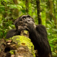Walking amongst chimpanzees in Uganda - A Top Travel Experience