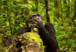 Chimpanzee, Kibale National Park, Uganda