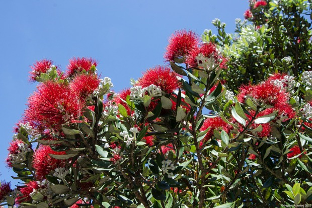 The Pohutukawa Tree, always out in time for Christmas