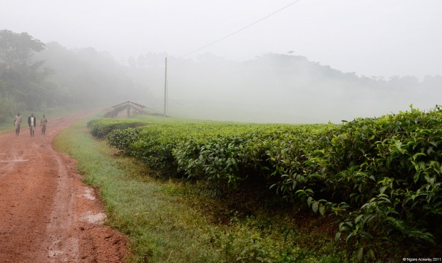 Tea Plantation near Kibale, Uganda