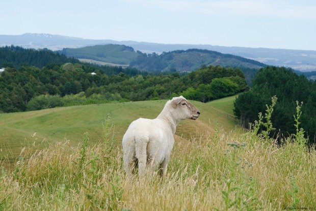 Sheep at Papamoa Hills, I've learnt to become proud of my country having such brilliant farms and open spaces for animals to roam