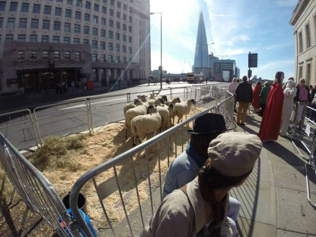 The lovely Emma preparing to walk a sheep across London Bridge