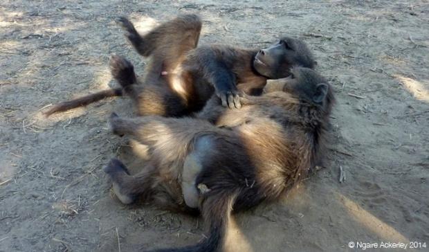 Baboon Walk