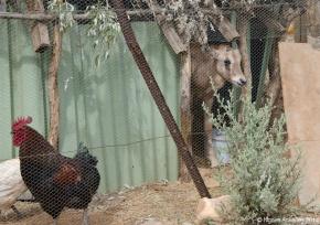 Baby Oryx in the chicken pen
