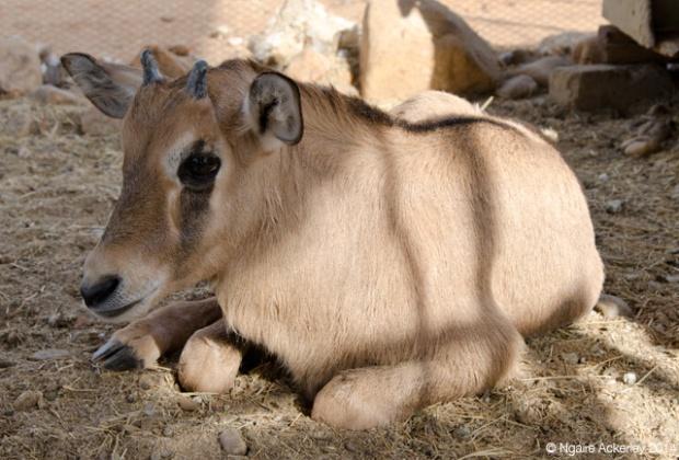 Baby Oryx