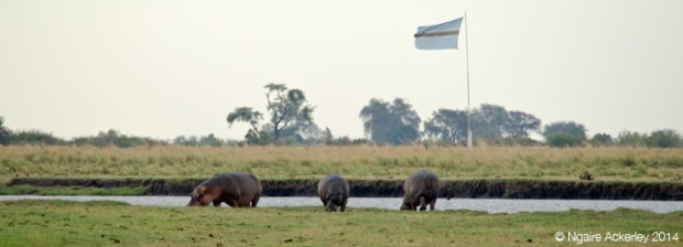 Hippos with the Botswana Flag