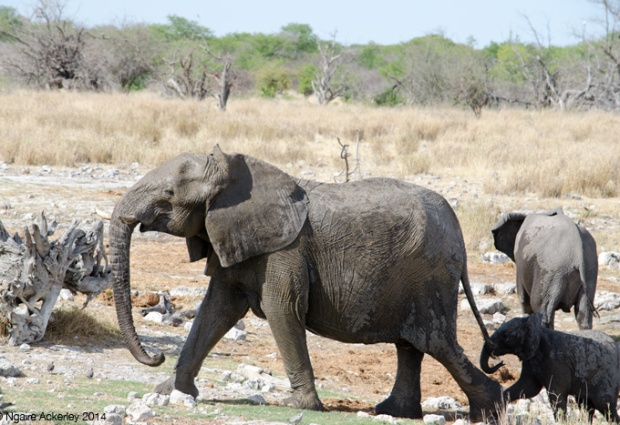 Breeding herd of elephants