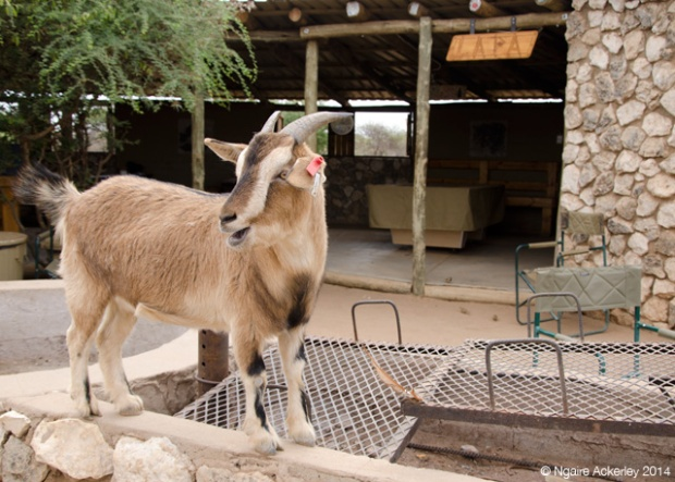 Coco the goat that thinks its human