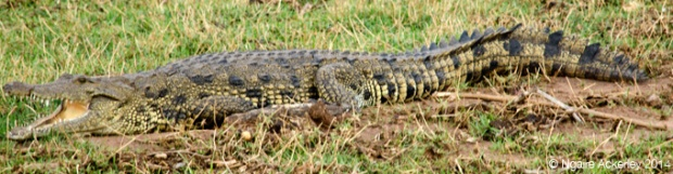 Crocodile, Chobe National Park