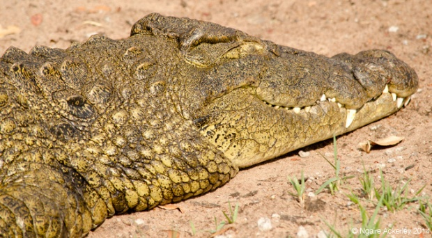 Crocodile head, Chobe National Park