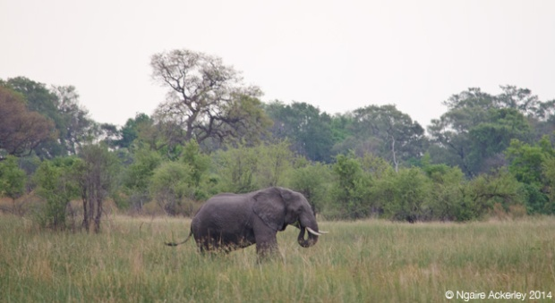 Elephant in the Okavango Delta
