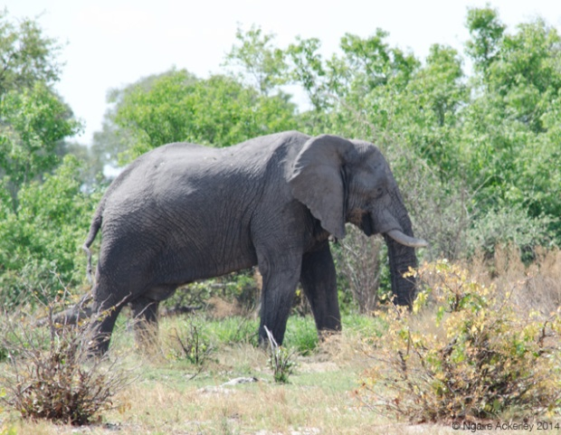 Elephant in the bush of the Okavango Delta