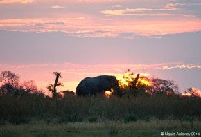 Elephant at sunset, Okavango Delta